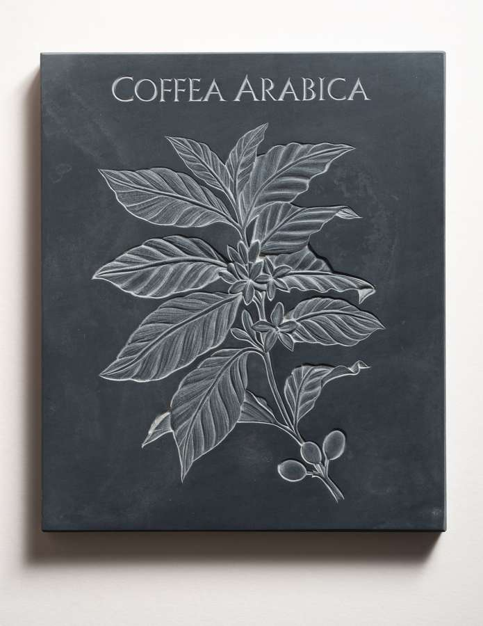 Tracy Steel. Coffea Arabica. Coffee.