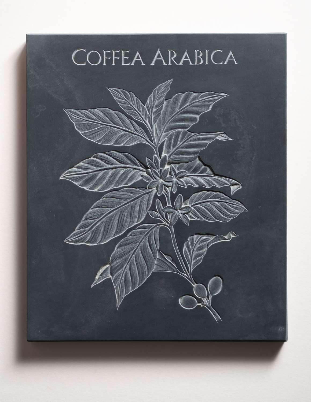 Tracy Steel. Coffea Arabica. Coffee.